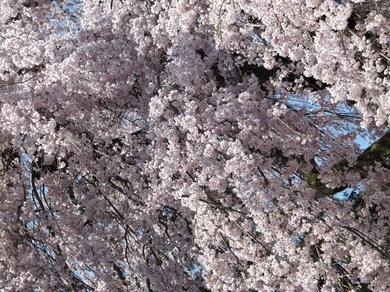 マリーナ桜写真2.JPG